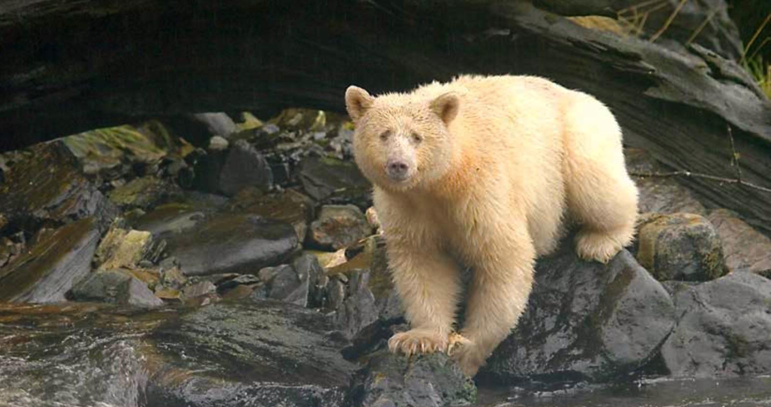 Polar Bear in Canada's Arctic region